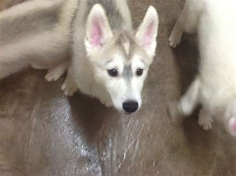 siberian husky puppies for sale 300 in los angeles siberian husky puppies for sale 450 posted 10 months ago for sale bed mattress sale