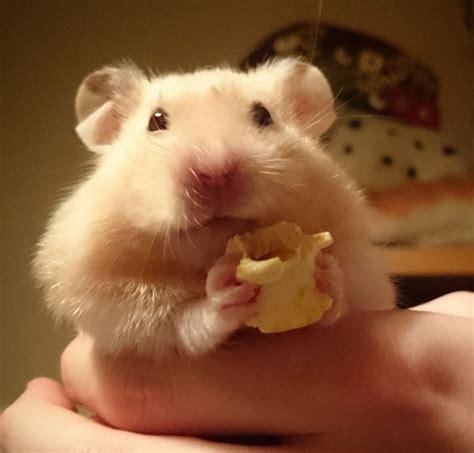 adorable hamster eating  pop corn hamster eating cute