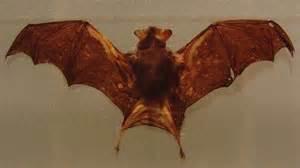 kitti s hog nosed bat or bumblebee bat bat facts and