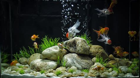 aquarium design kolkata best 25 goldfish aquarium ideas on pinterest fish tank