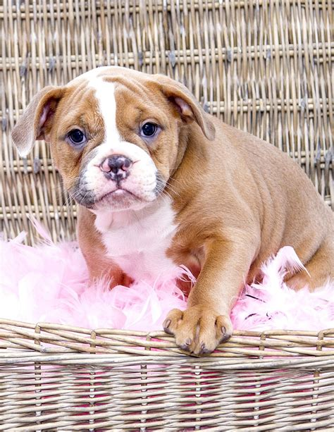 bulldog c section cost english bulldog a complete guide the happy puppy site