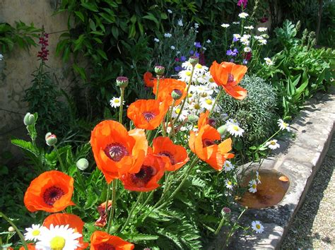 how to grow oriental poppies growing and caring for