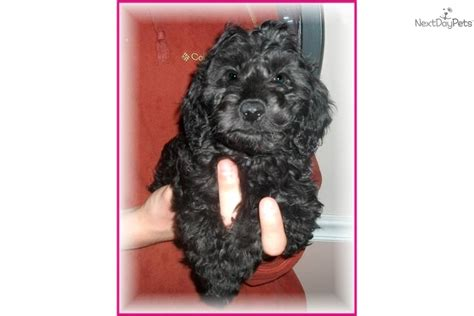 doxie doodle puppies for sale meet a dachshund puppy for sale for 850
