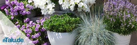 Lavendel Pflege Im Garten 5104 by Lavendel Pflege In Garten Und Topf Talu De