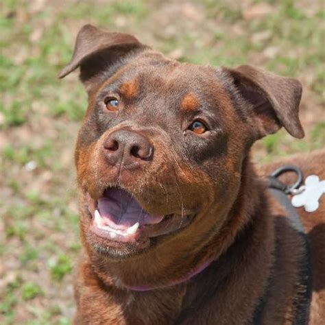 rottweiler page zeus the chocolate rottweiler mix s web page