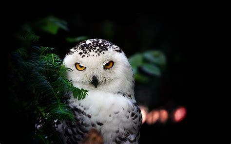 wallpaper black owl owl wallpaper