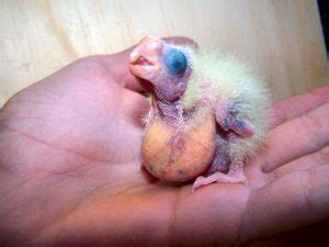what do baby house finches eat zebra finch facts diet breeding mutations pet care