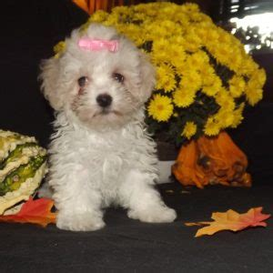 puppies for sale enterprise al maltipoo puppies for sale in pa md ny nj
