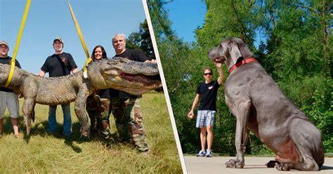 imagenes sorprendentes de animales gigantes 161 omg aqu 237 est 225 n los animales m 225 s grandes del mundo