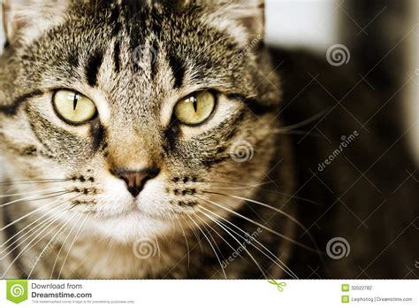Cat Ct010 Brown Yellow detailed closeup of brown tabby cat stock photography image 32022782
