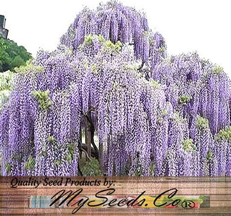 wisteria in japan japanese wisteria wisteria floribunda seeds flower