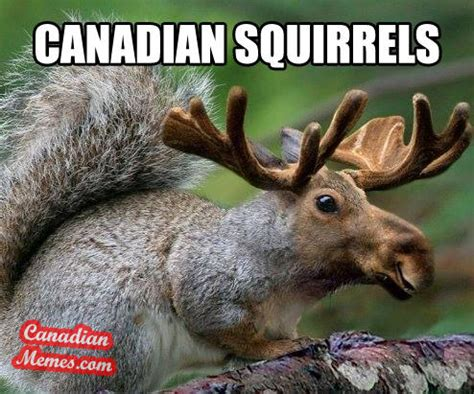 Canadian Moose Meme - the meme conversation thread page 26 botl brothers of