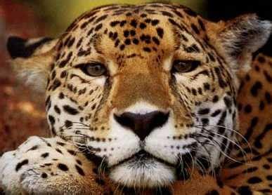 imagenes de animales jaguar el jaguar en peligro de extincion animales en peligro de
