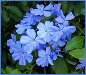 blue flowering shrubs in florida plumbago cape plumbago