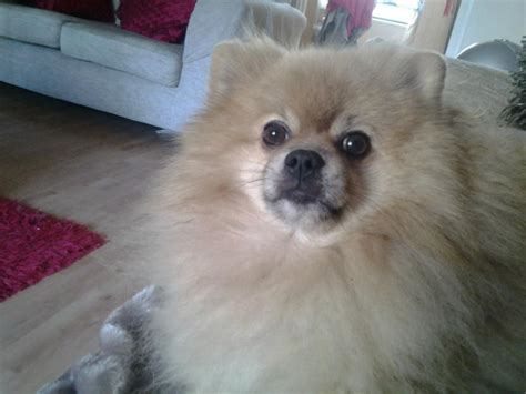 pomeranian tooth loss pomeranian facts and information viovet