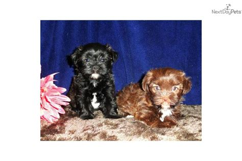 yorkie poo shih tzu mix black shorkie puppies