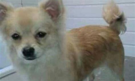 staffy cross pomeranian bailey 11 month pomeranian cross chihuahua for adoption