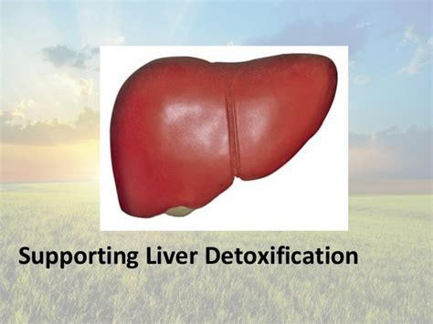 Liver Detox Webmd by The Liver And Detoxification Models Picture