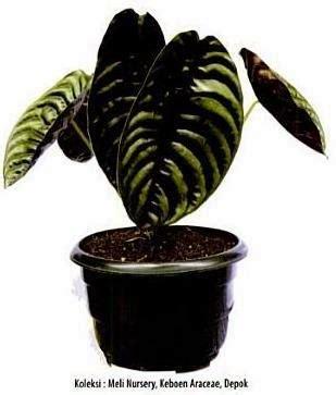 alocasia cuprea planet tanaman