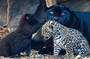 Jaguar And Tiger Hybrid Jaguar Cubs Black Or Spotted Baby Animal Zoo
