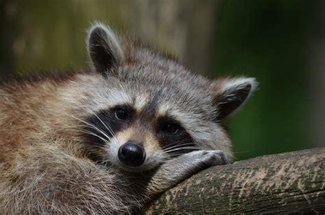 dead raccoon in my backyard 7 raccoon prevention safety tips homeadvisor