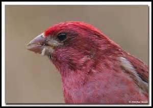 purple finch bird photos pinterest