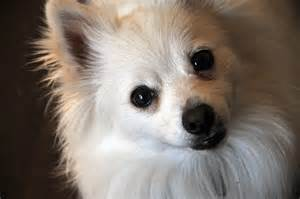 free pomeranian puppies 20 best of white puppies kittens wallpapers