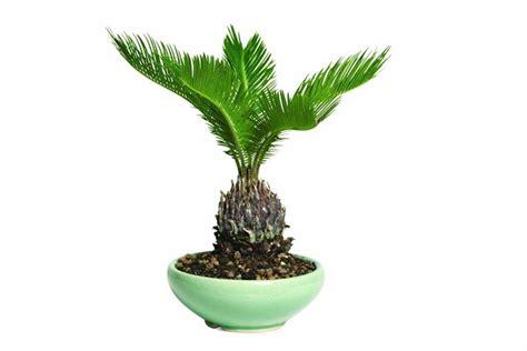 palme in vaso cycas revoluta piante da giardino cycas revoluta per