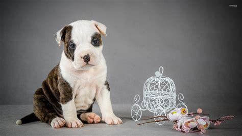 pitbull puppy wallpaper pitbull puppy wallpaper animal wallpapers 50668