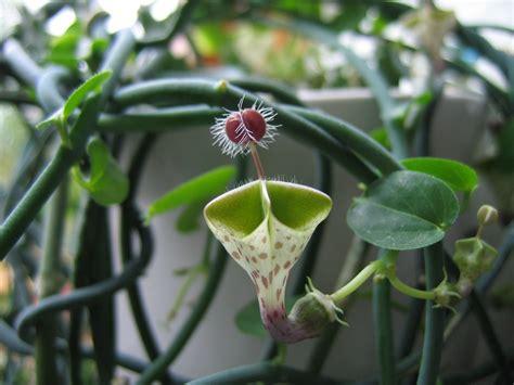flower plants the most unusual bloom ceropegia haygarthii snaplant com