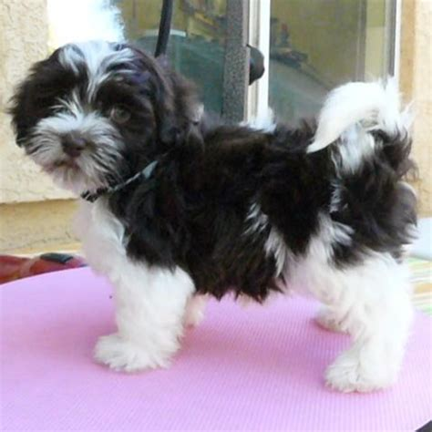 havanese chocolate puppies chocolate havanese chocolate havanese puppy chocolate havanese puppies