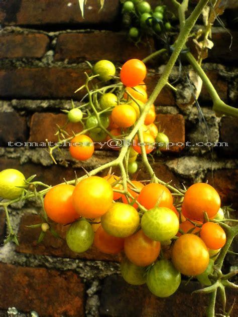 Benih Tomat Cherry Merah tomat cherry tomat cherry zima