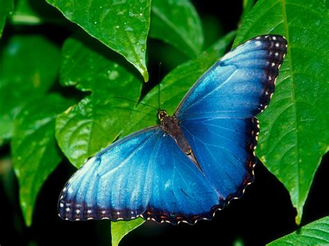 blue wallpaper with butterflies butterfly desktop wallpapers allfreshwallpaper