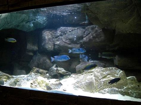 mbuna aquascape aquascape idea lake malawi mbuna pinterest