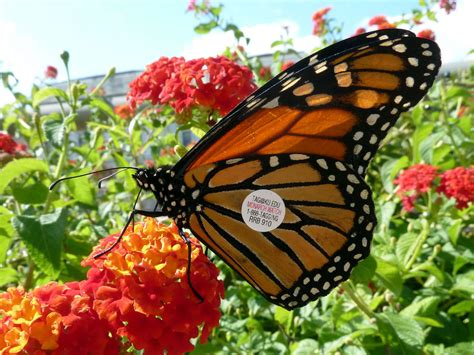 monarch watch migration tagging tagging tagged monarch butterfly monarch butterfly danaus