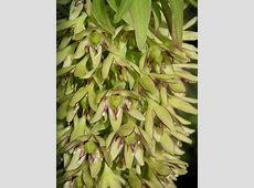 Eucomis bicolor - Wikipedia Habitat
