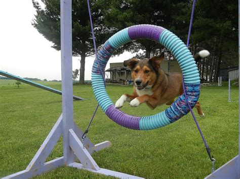 how to start agility for dogs agility breeds picture
