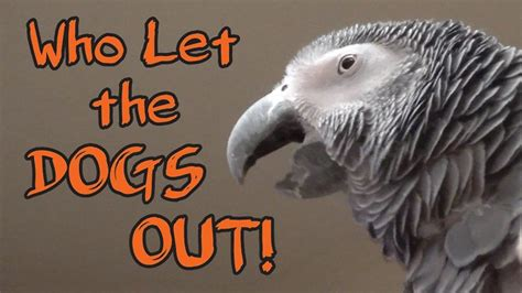 who sings who let the dogs out this musically endowed parrot knows every word of who let the dogs out