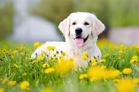 what were golden retrievers bred for surprised that these are the most popular breeds