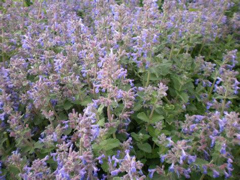 persian catmint perennial favorites