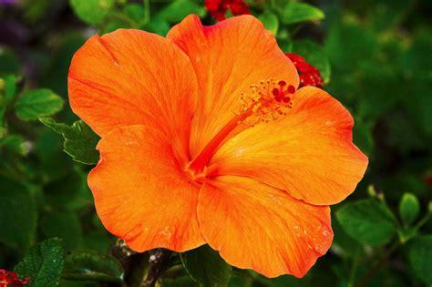 hawaiian yellow hibiscus orange yellow hibiscus image gallery orange hibiscus flower
