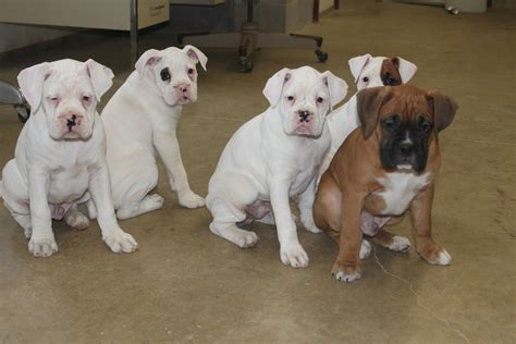boxer puppies for sale in md boxer puppies here is a litter posted at boxer puppies for sale here is a