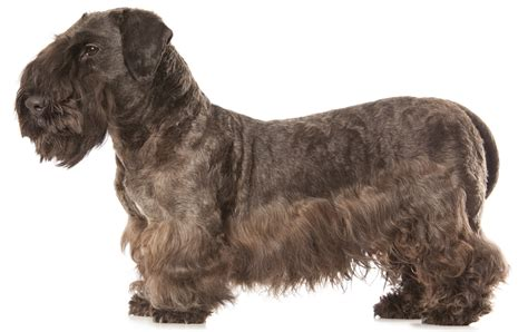cesky terrier dog breed information pictures