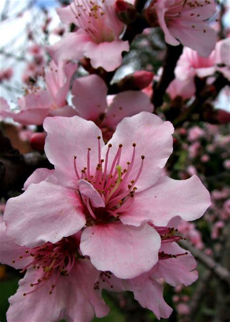 flowering plum tree fruit free stock photos rgbstock free stock images