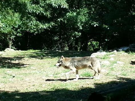 ingresso zoo di pistoia capretta poco prima dell incaprettamento foto di