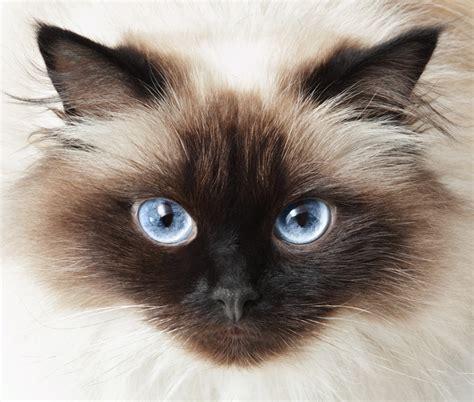 himalayan cats himalayan cats archives siamese cat spot