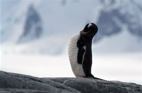 File:Antarctic, gentoo penguin (js) 17.jpg - Wikimedia Commons