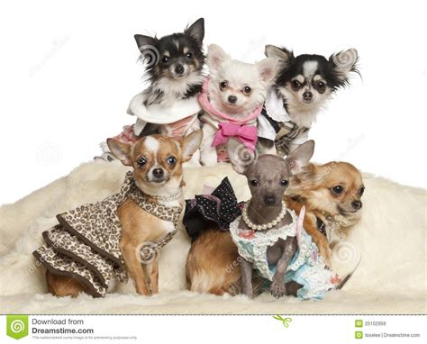 chihuahua puppies indiana chihuahua puppies and adults in clothing sitting stock image image 25102959