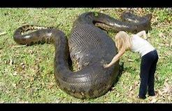 Image result for python everglade hunt florida