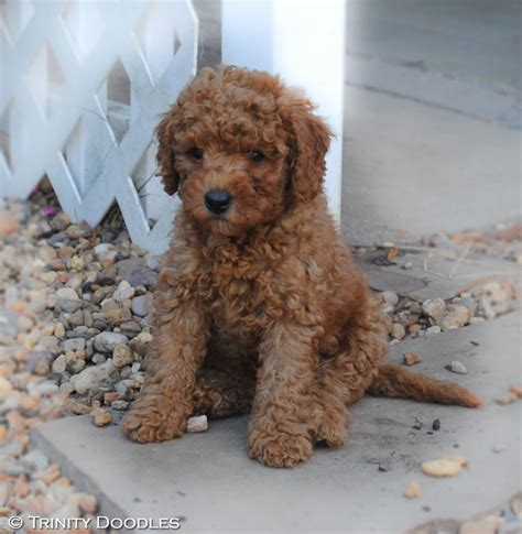 mini labradoodles for sale in ohio 25 b 228 sta id 233 erna om labradoodles p 229 goldendoodle